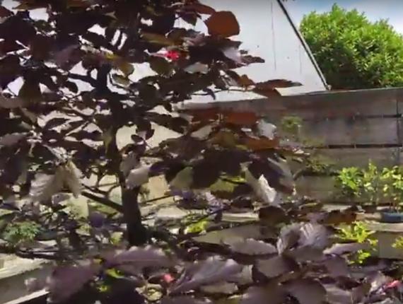 Arts & Ants Aalsmeer | koi, bonsai en vijver specialist | bonsai beuken